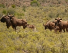Wit wildebeest & young