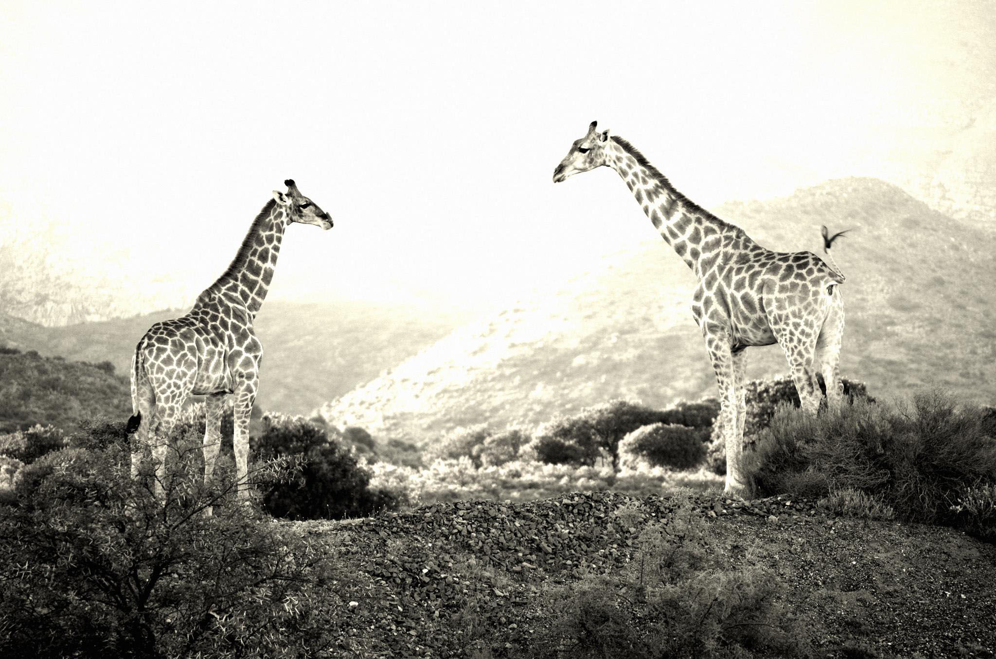 slider-giraffe
